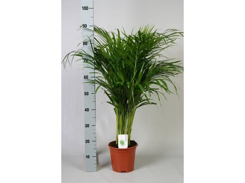 Six non toxic plants for the home that are safe around for Areca palm safe for cats