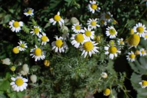 Chamomile, herb, growing, grow your own, eating, garden, gardening