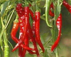 seeds, growing, chilli, vegetables, gardening, gardens, spring, sowing