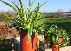 Chlorophytum, spider plants, house plants, houseplants, health, air filtering, non-toxic, gardening, kids, children, pets, dogs, cats