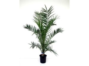 Phoenix canariensis, palm, date palm, tree, house plant, houseplant, non-toxic, healthy, gardening, interior design