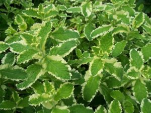 mint, herbs, herb, pineapple mint, garden, grow your own, gardening, kitchen, cooking, drinks