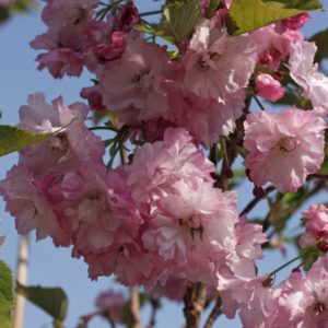 Prunus, pink perfection, cherry, ornamental, flowering cherry, ornamental cherry, tree, garden spring, blossom, flowers