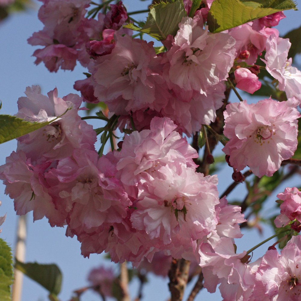 Six Of The Best Ornamental Flowering Cherries Trees For Spring