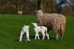 lambing, baby animals, lambs, chicks, easter, spring, kids, children, gardens, zoo