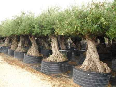 What plants can i put on my balcony perfect plants for Fertilizing olive trees in pots