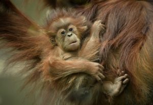 animal baby, orangutan, bornean, zoo, baby, easter, children, kids, holidays, new life, perfectplants.co.uk, perfect plants