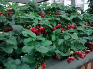 strawberries, tomatoes, potatoes, grow your own, gardens, gardening, Chelsea Flower Show, Perfectplants.co.uk,