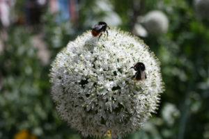 allium, plants, gardens, flowers, bugs, insects, repellent, gardening,
