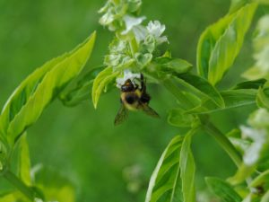 basil, flies, insects, garden, pests, repel, mosquitoes, foliage, aromatic,