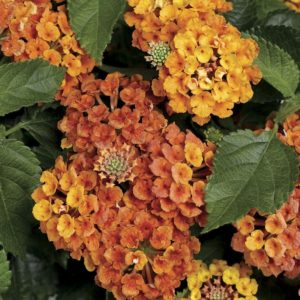 lantana, flowers, garden, insect repellent, gardening, insects, bugs,