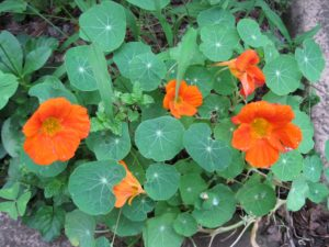 Nasturtiums, garden, bugs, repellents, growing, insects, mosquitoes, midges, gnats,