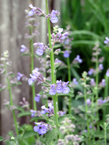 Nepeta, cat mint, insect repellent, cats, mind, garden, insects, bugs, repel,