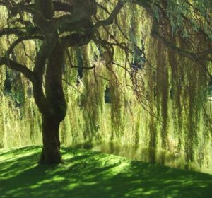tree, garden, planting, choosing a tree, plant, gardening, willow, weeping willow,