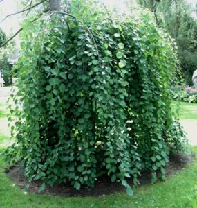 tree, weeping, small garden, planting a tree, right plant, right place, garden, gardening,