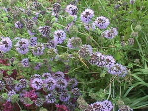 pennyroyal, herb, garden, insects, bugs, growing, gardening, repellent, flowers,