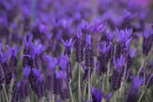 French lavender, flowers, garden, gardening, lilac, purple, scented, aromatic,