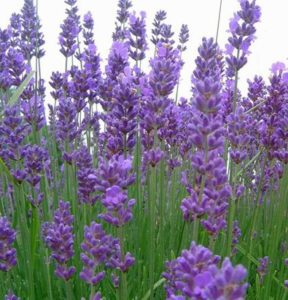 English lavender, lavandula angustifolia, lavender, plant, flowers, summer, scent, aroma, dried flowers,