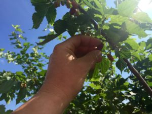 Mulberry, berries, trees, grow your own, gardening, garden, fruit,