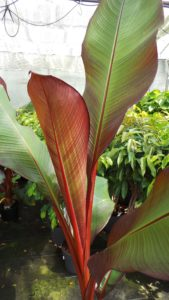 banana, musa, palm, growing, house plant, grow your own, garden, gardening,
