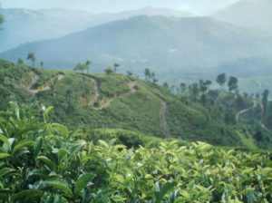 tea, camellia sinensis, growing, cuppa, grow your own, gardening, gardens, plantation,