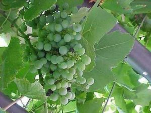 grapes, vitis, growing, grow your own, grapevines, vines, gardening, wine, drinking,