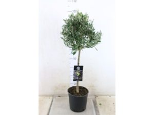 Olive, Olea, olive tree, gardening, garden, growing, fruit, olives, unusual, edible, grow your own,