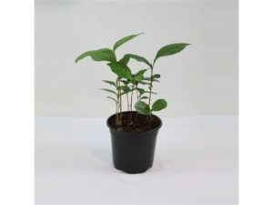 tea, camellia sinensis, growing, grow your own, gardening, garden, drinking, drink, herb,