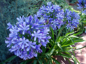 Agapanthus, blue giant, blue flowers, august, september, garden, colour in the garden, rainbow colours, perennials, evergreen, deciduous, flower borders,