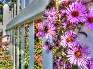 asters, michaelmas daisies, flowers, rainbow colours, purple, mauve, August, September, gardens, colour in the garden, summer flowers,