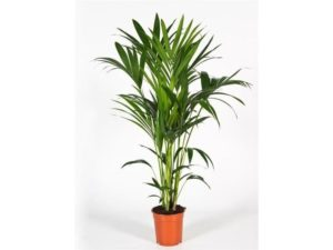kentia, palm, house plants, houseplants, decoration, indoors, conservatory, health, perfectplants.co.uk,