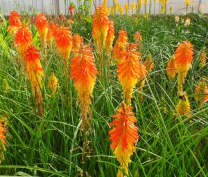 red hot poker, kniphofia, plants, perennials, drought, orange, red, yellow, popsicle, summer, garden, gardening, planting,