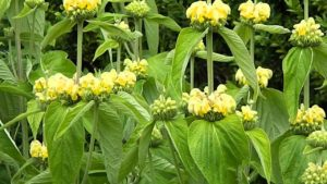 Phlomis, growing, flowers, drought, dry, sunny, structure, 10 best drought tolerant plants, perfectplants.co.uk, gardening,
