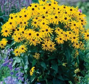 Rudbeckia 'Goldsturm', Rudbeckia, yellow flowers, late summer flowers, yellow, gardening, gardens, colours of the rainbow,