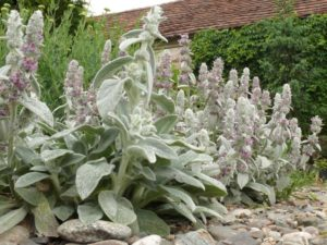 drought, plants, planting, stachys byzantina, mediterranean, garden, growing, watering, hot, sunny,