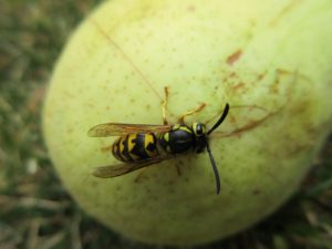 wasp, trap, sweet, sting, wasps, garden, late summer, garden,