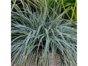 Carex 'Everest', Carex, ornamental grasses, ornamental grass, grass, garden, evergreen, grasses, gardening, autumn,