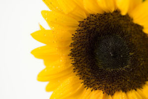 sunflowers, summer garden, yellow flowers, yellow, garden, gardening, plants, rainbow colours,