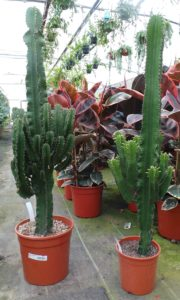 cactus, succulents, euphorbia, cacti, mexican, trend, fashion, interior design, house plants, plants, living sculpture, homes and gardens, perfectplants.co.uk,