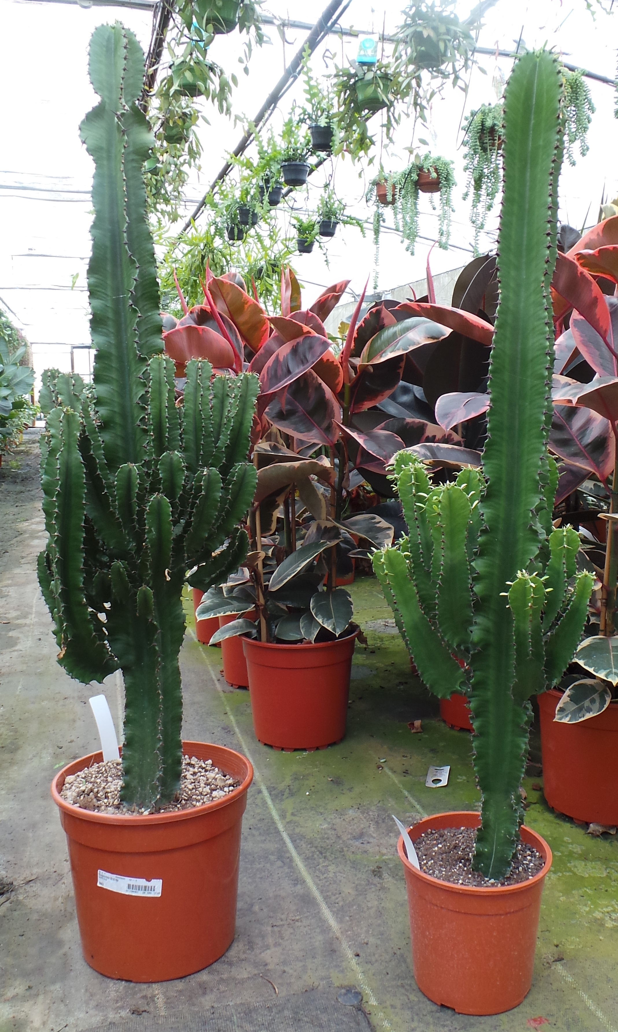 Six Reasons To Follow The Cacti Trend Buy Trees Shrubs Perennials Annuals House Plants Statues And Furniture