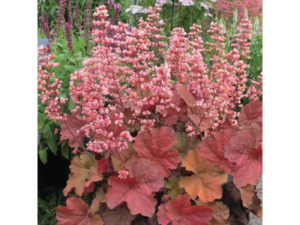 Heuchera 'Pink Pearls', Heuchera, pink pearls, garden, groundcover, plants, colourful, dry shade, shade planting, perfectplants.co.uk,