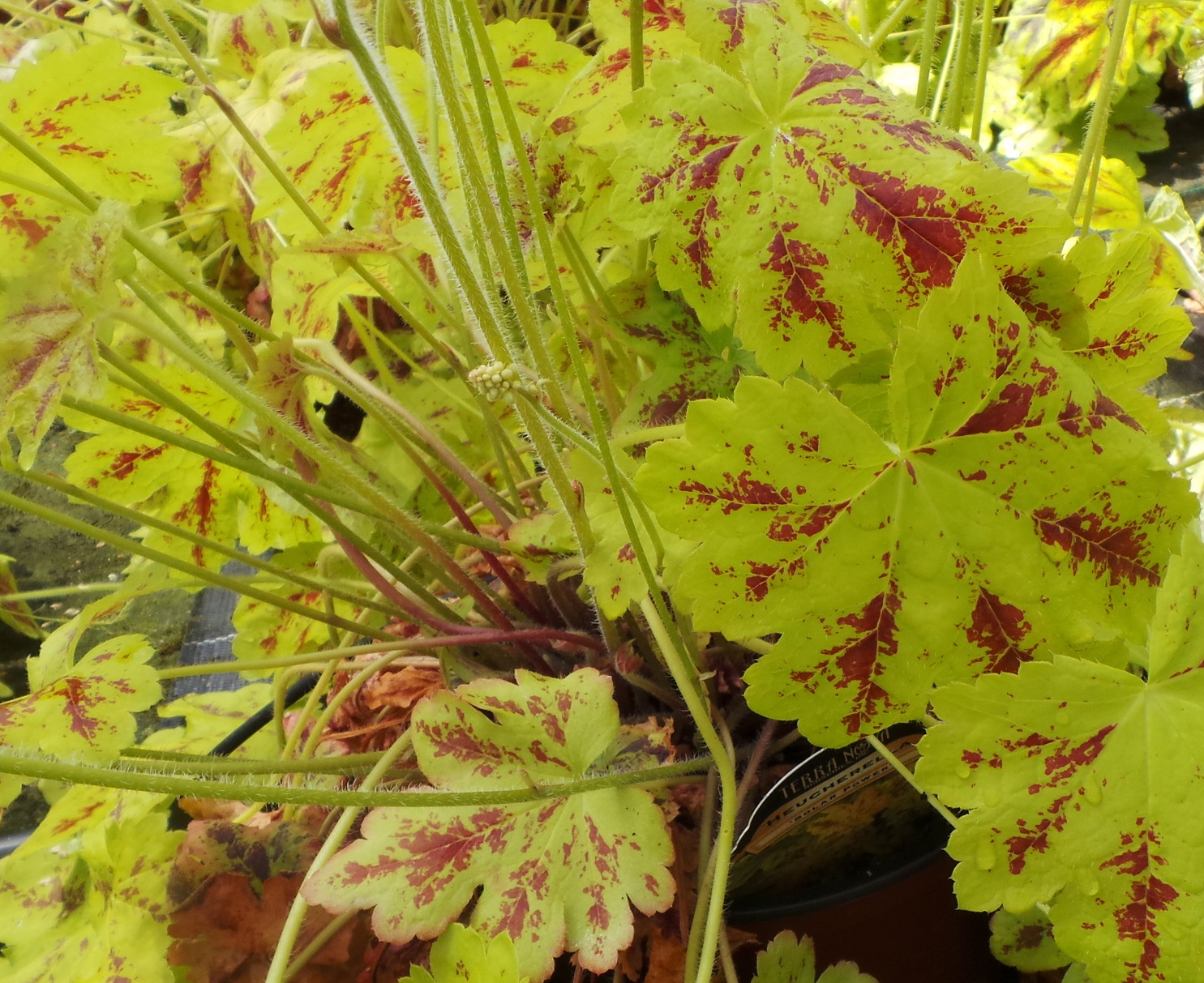 Cool Heucheras For Bright And Beautiful Underplanting Perfect Plants
