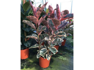 Ficus, house plant, rubber plant, Belize, large office plant, perfectplants.co.uk, health, happiness, productivity at work,