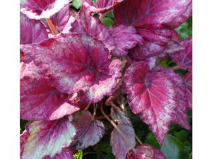 Begonia rex, plant, office plant, colour, pink leaves, purple foliage, health, happiness, productivity at work, perfectplants.co.uk,