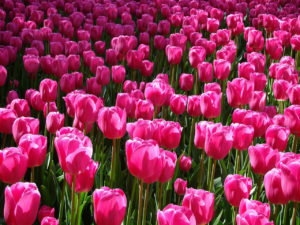 tulips, bulbs, planting, plants, gardens, spring flowering, pink tulips, gardening,