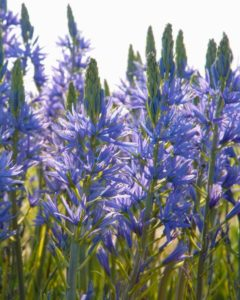 camassia, spring flowering, bulbs, planting, gardens, gardening, autumn, plant your bulbs now,