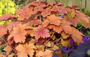 cool heucheras for bright and beautiful underplanting. Black Bedroom Furniture Sets. Home Design Ideas
