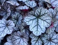 Heuchera, shade loving plants, plants for shade, perfectplants.co.uk, north facing site, planting, gardening,