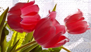 tulips, planting, bulb planting, autumn planting, gardens, gardening, gardener, spring bulbs, plant now,