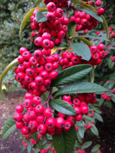 cotoneaster, berries, cornubia, gardening, gardens, autumn colour, plants,